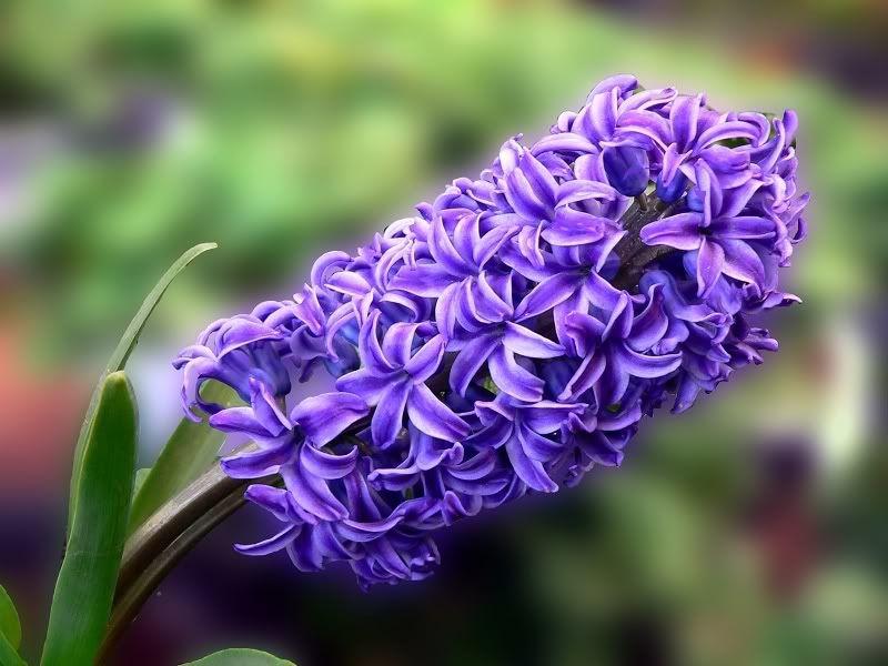 Hyacinth List Of Flowers Flower Meanings Beautiful Flowers