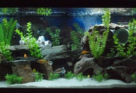 Mixed African Cichlid Tank!!! ...........click here to find out more http://googydog.com