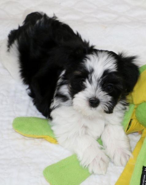 Angel Doll Puppy Jinx Yorkie Maltese Long Hair Chihuahua
