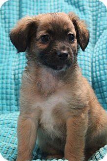 Bedminster Nj Sheltie Shetland Sheepdog Shih Tzu Mix Meet Kalua A Puppy For Adoption Http