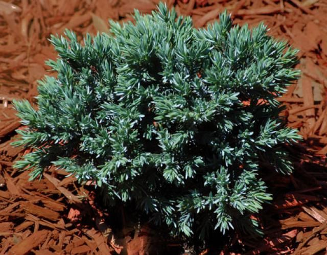 Learn How To Identify Common Evergreen Shrubs With This Picture Guide Drought Tolerant Shrubs Small Evergreen Shrubs Shrubs For Landscaping