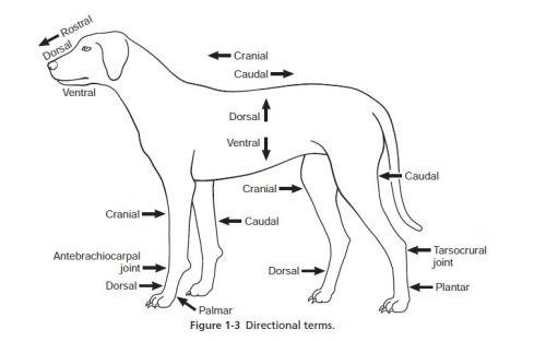 Canine Anatomy Terms Vetstudent Microbiologymaniac Dorsal