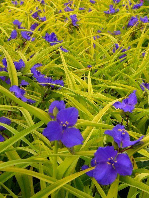Tradescantia Blue And Gold Actually A Perennial Zone 3 Plants Perennials Foliage