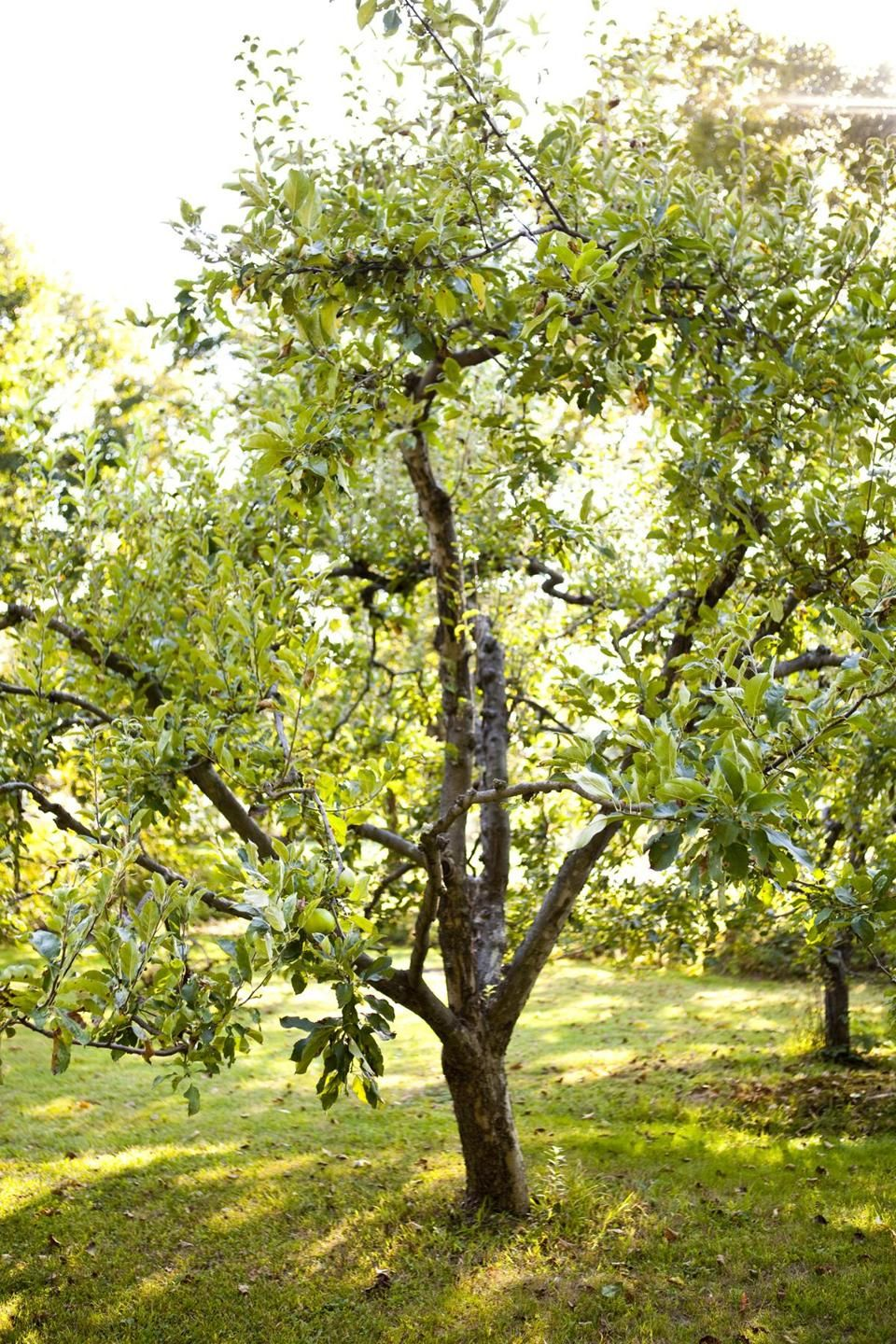 the best backyard fruit trees for new england the boston globe