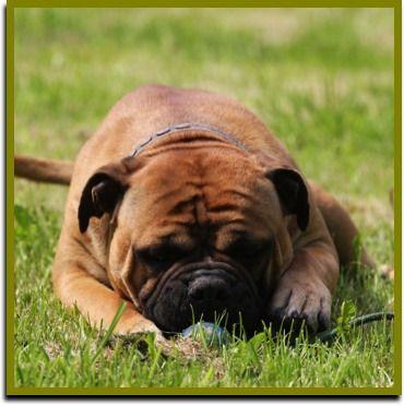 Ap Athos Continental Bulldog Www Asgards Pride Com Continental Bulldog Bulldogge Und Hunde