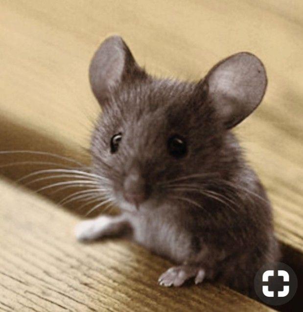 Pin von Bethina Maier auf Mice!!! Süße tiere, Tiere