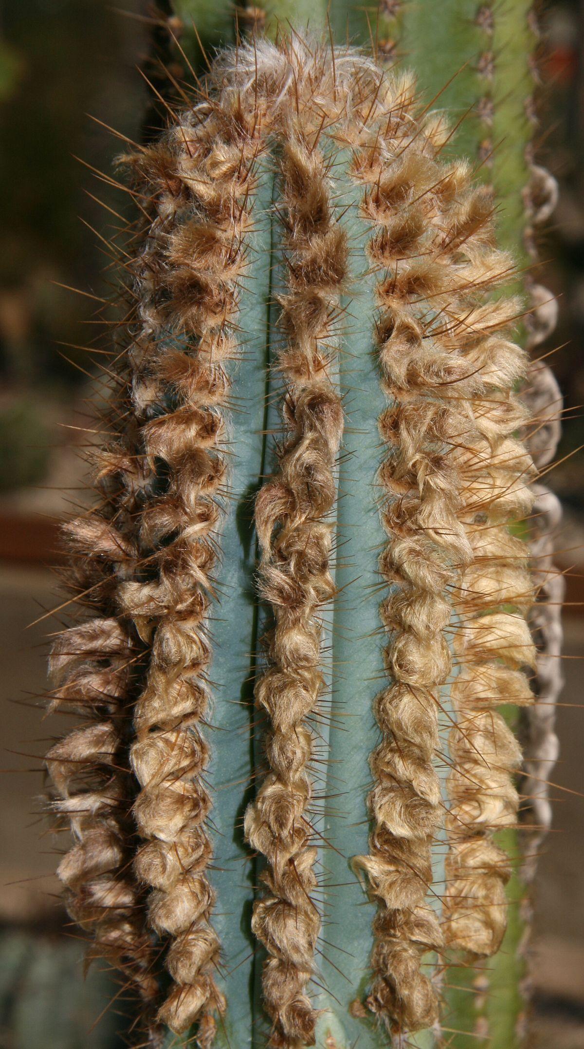 Pilosocereus Machrisii Wikipedia Cactees Cactus Jardins