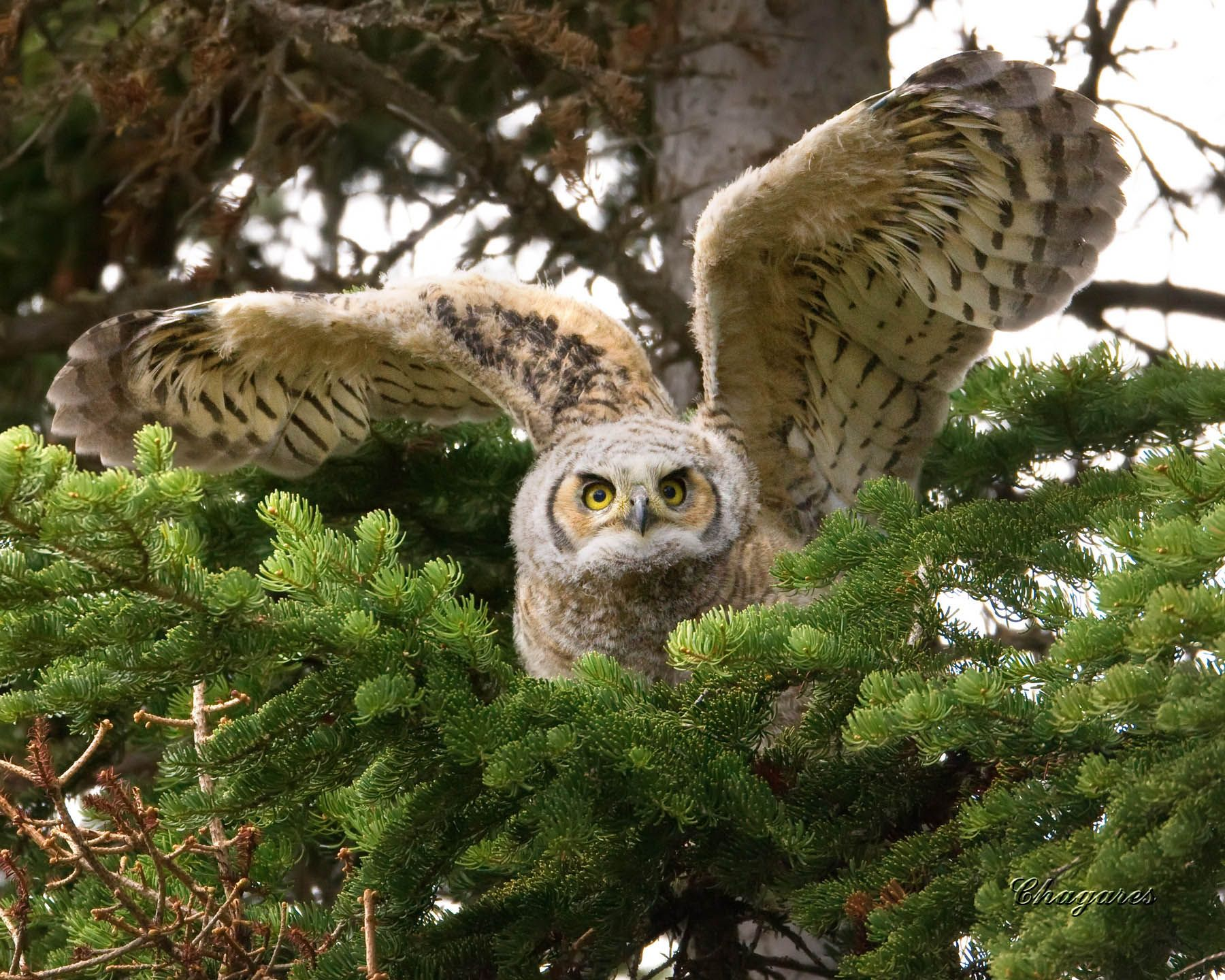 The Amazing Great Horned Owl Facts For Kids