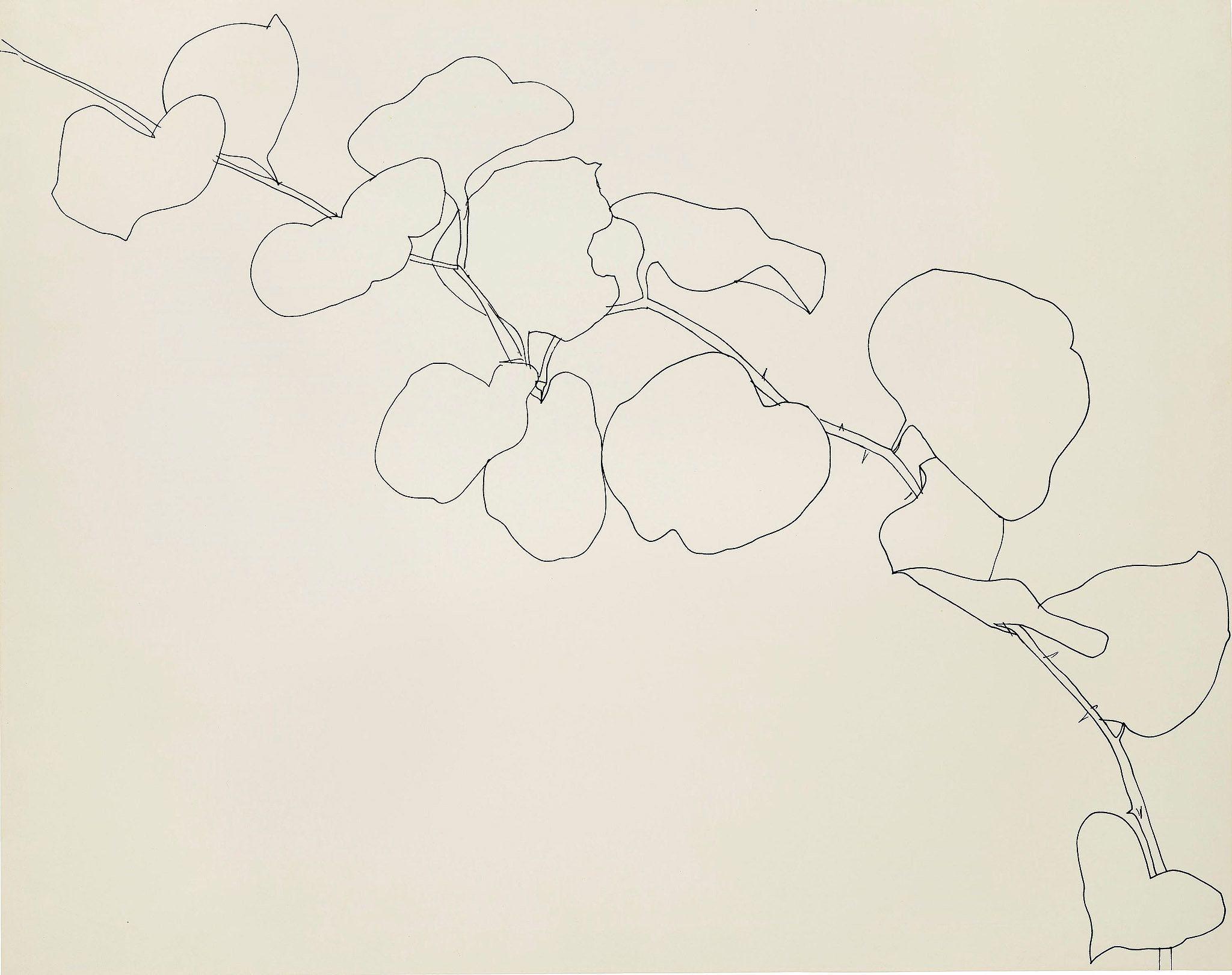 Contour Line Drawing Picasso : Ellsworth kelly s plant drawings at the met