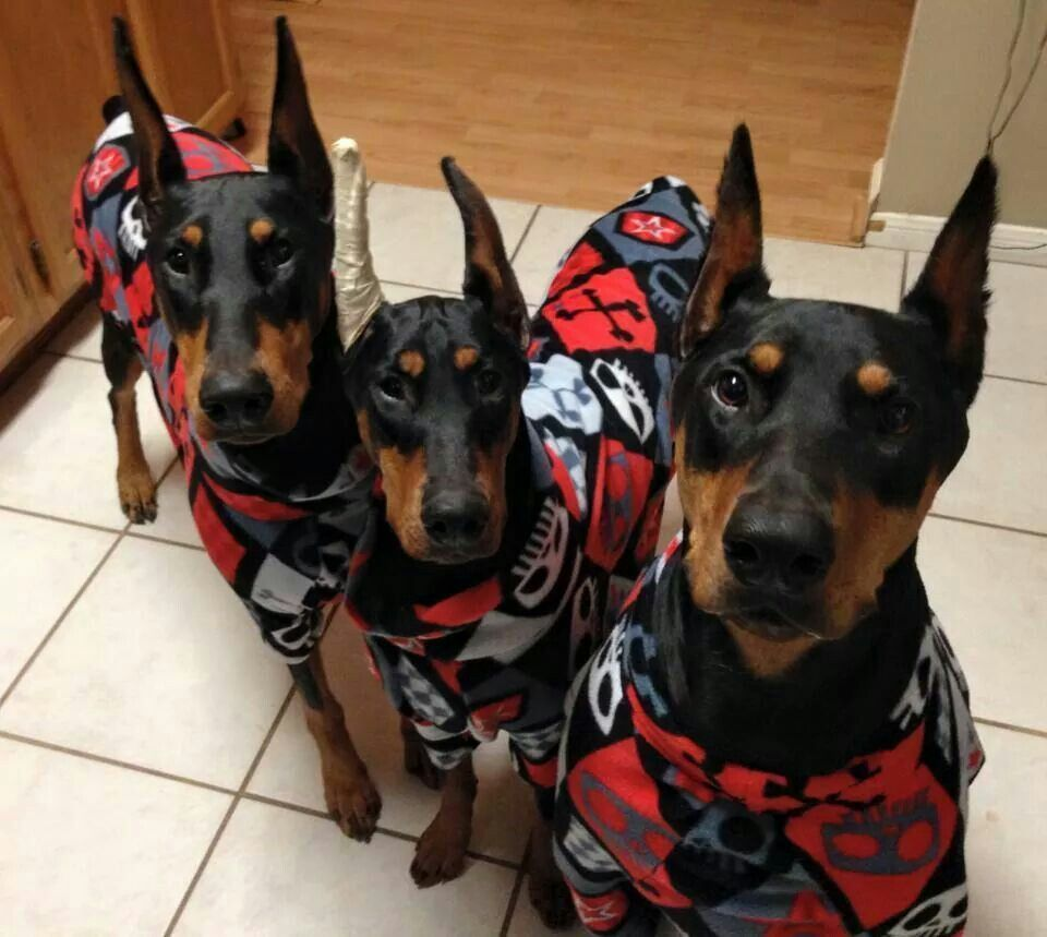 Dobermans From Your Friends At Phoenix Dog In Home Dog Training