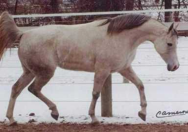 SCHALADDINNS ROSE  (Schaladdinn x CS Fereska, by *Buszmen) 1993 grey mare