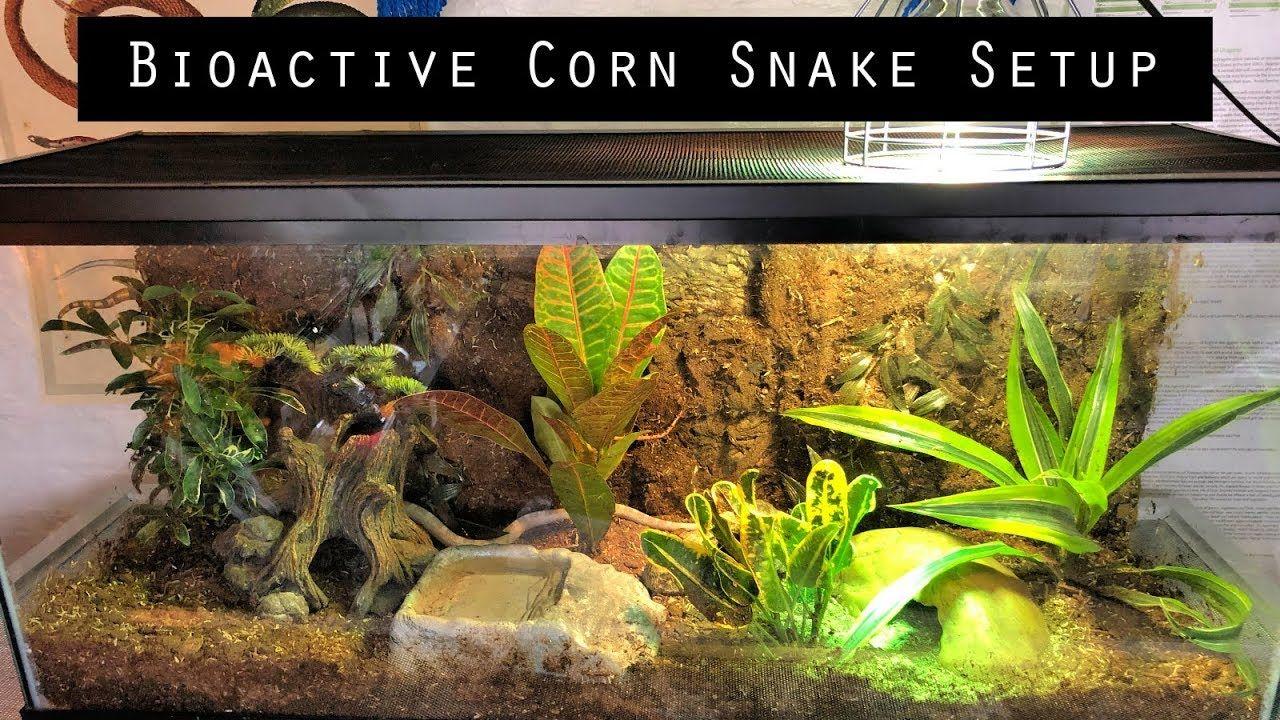 Bioactive Corn Snake Setup Youtube Corn Snake Snake Tank Bioactive Vivarium Alibaba.com offers 215,353 animals plastic products. bioactive corn snake setup youtube