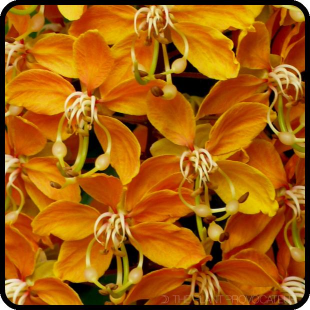 Cassia brewsteri cascading golden flowers.  #cassiabrewsteri #wisterialike #leichardtbean #golden #deephoney #feelgoodplant #australianplantsnursery #draizy #cigarshaped #luxuriousplant