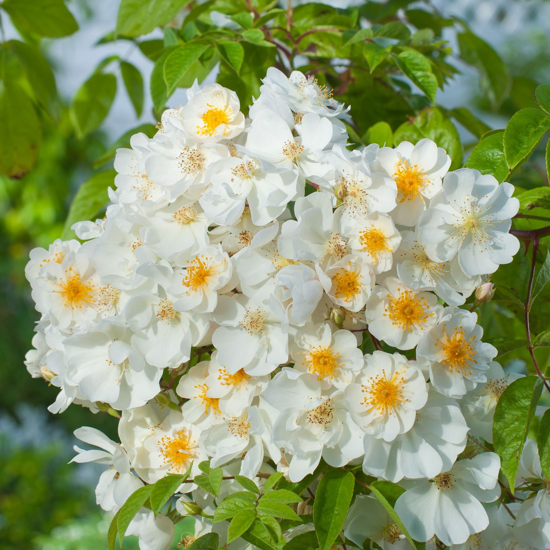 Rosa Bobbie James Rambling Rose Dobbies Garden Centres