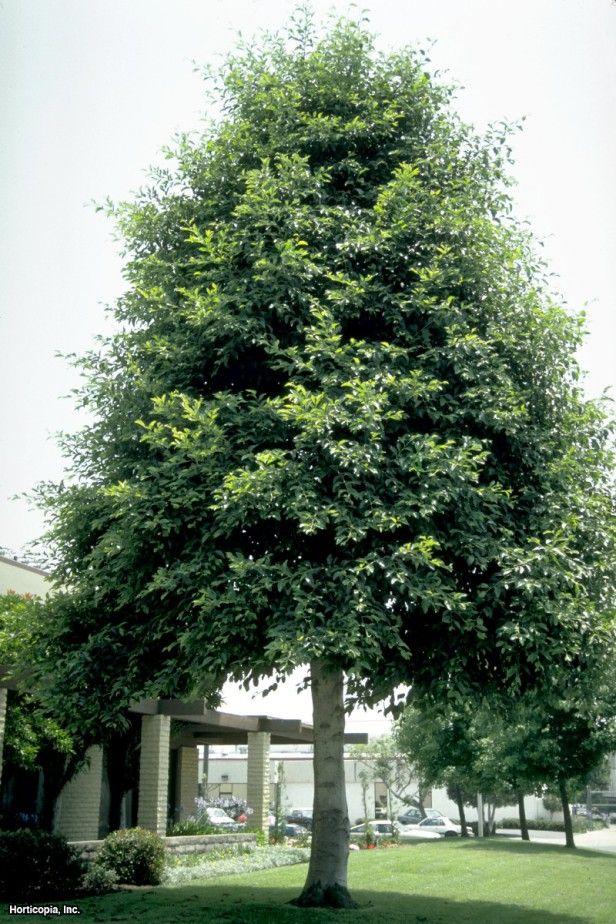 White alder alnus rhombifolia deciduous native for Garden deciduous trees