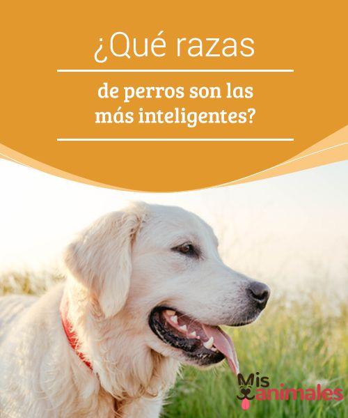 Qué Razas De Perros Son Las Más Inteligentes Mis Animales Razas De Perros Razas De Perros Inteligentes Perros