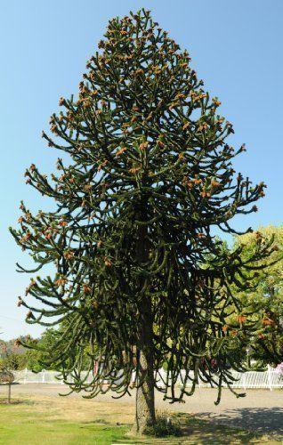 Tree Seeds Online Araucaria Araucana Monkey Puzzle 3 Non Dormant 1 Packs