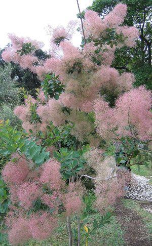 Eurasian Smoke Tree, Smoke Bush, Smoke Tree