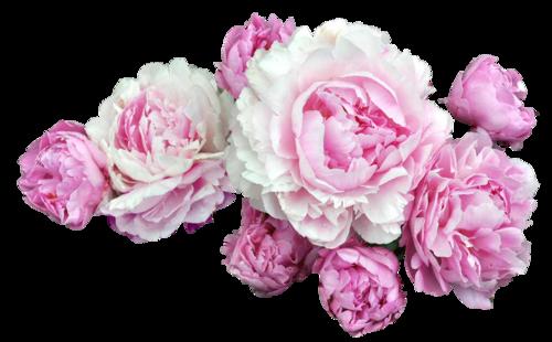 transparentflowers free...png......... Paeonia