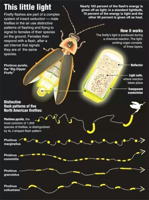Fireflies Lampyridae Is A Family Of Insects In The Beetle Order Coleoptera