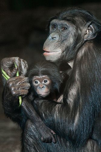 Baby Bonobo 2 Bonobo Baby Animals Cute Baby Animals