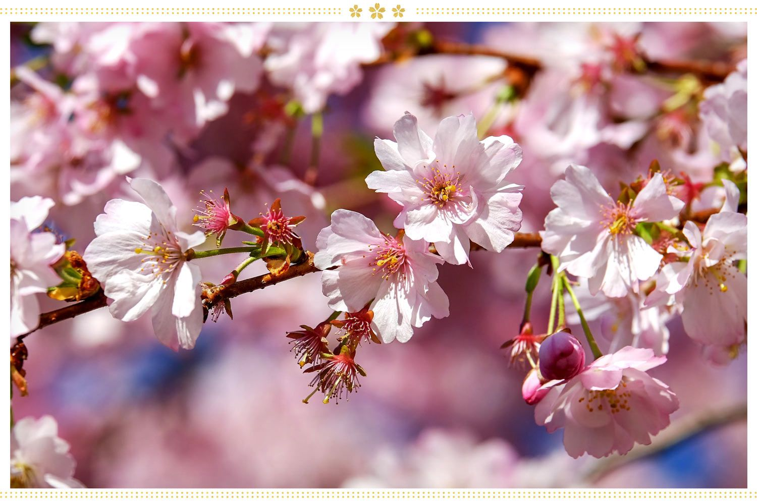 15 Japanese Flower Meanings And Where To Find Them Proflowers Blog Japanese Flowers Japanese Flower Names Flowering Cherry Tree