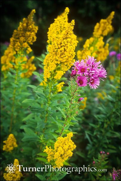 Canada Goldenrod With New England Aster With Images Fall Flowers Garden Pollinator Garden Native Plants