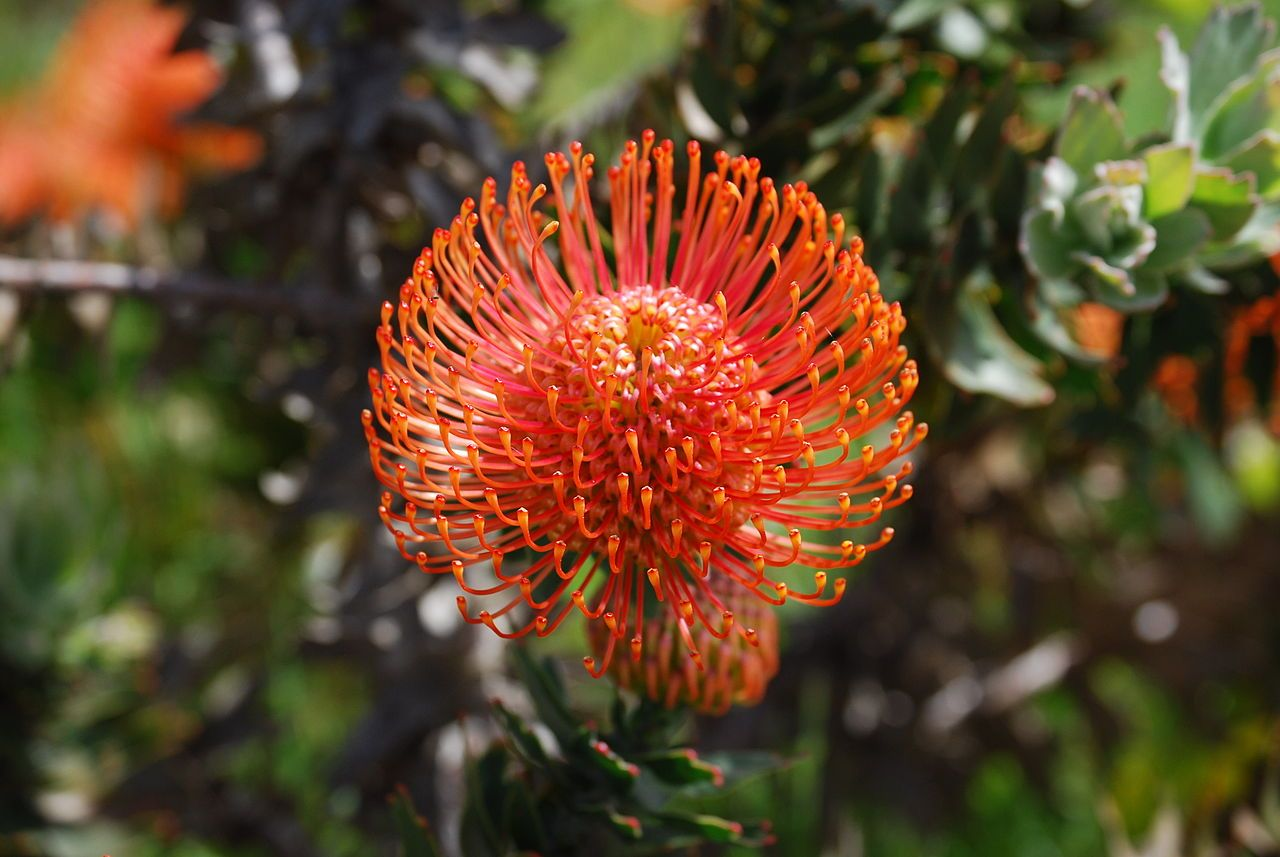 Red Pincushion Protea (Leucospermum cordifolium
