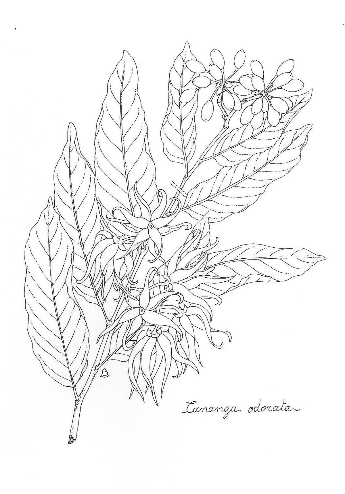 Ylang Ylang Flower drawing