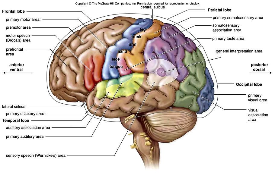 left hemisphere brain models with cerebral lobes, broca's ...