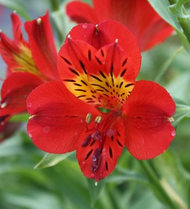 Show Details For Alstroemeria Red Sensation Red Flowers Alstroemeria Beautiful Flowers