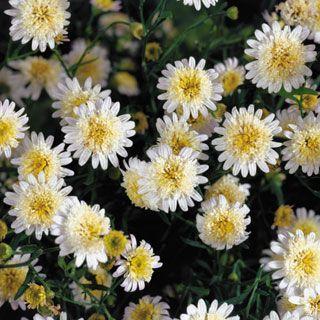 Want Asteromea Mongolica Japanese Aster Plants Dream Garden Flowers