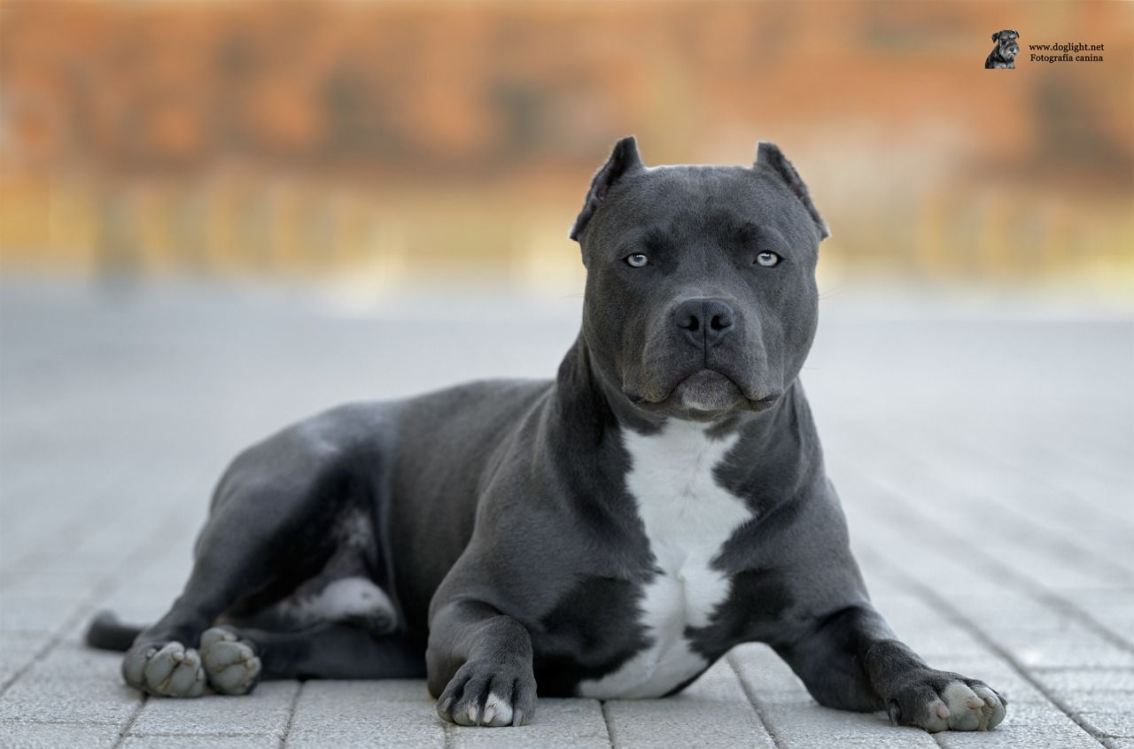 Pin By Robbie On Animals Pitbull Terrier Beautiful Dogs Dogs
