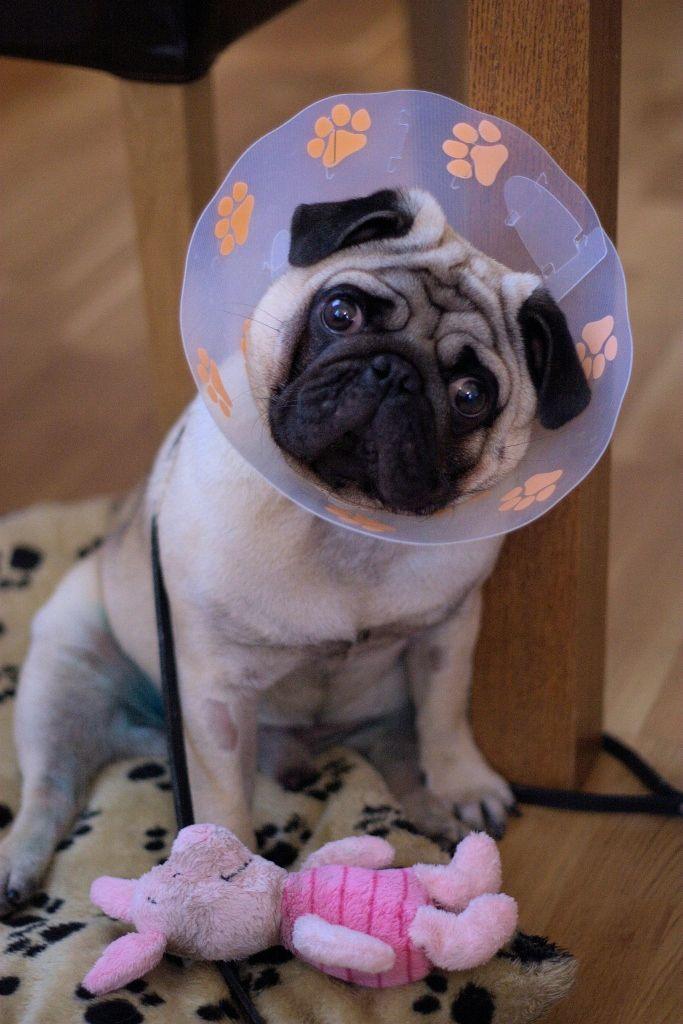 Cone Of Shame Hahahaha Yes I Need This Pugs Funny Pug Love