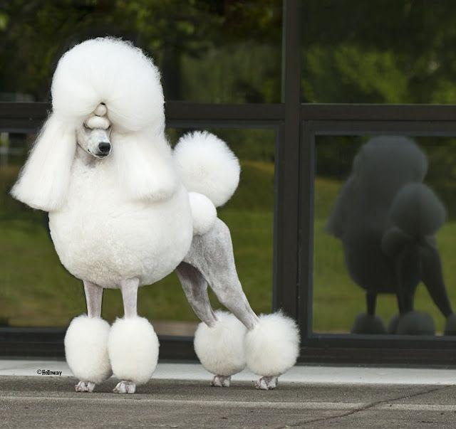 Huxtable The Poodle | Toy Poodle Blog | Parti Poodle: Black Poodle, White Poodle, Brown Poodle