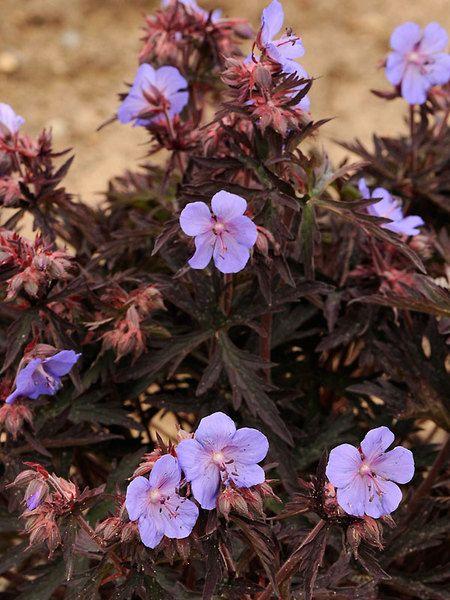 Geranium Dark Reiter Cranesbill Perennial