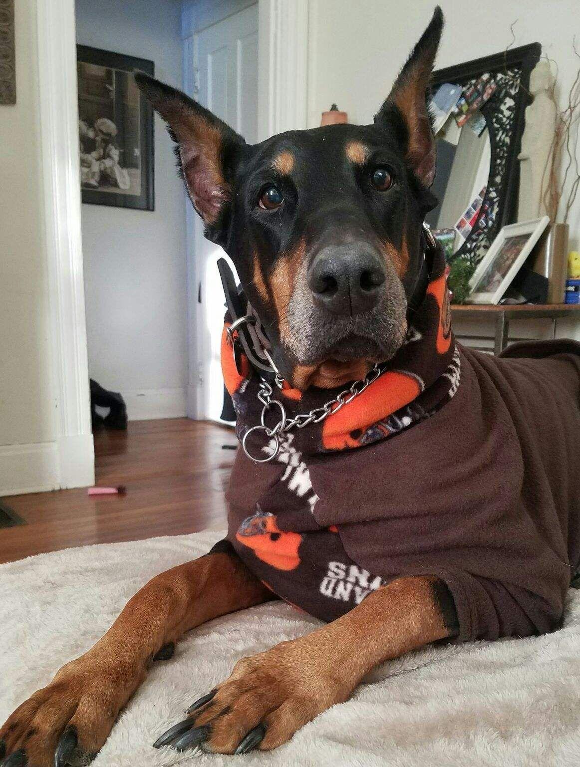 Adopt Rayne on Petfinder Doberman, Doberman rescue