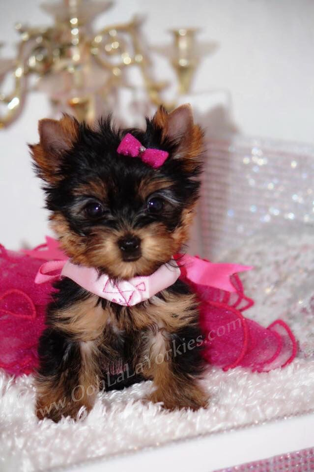Baby Doll Faced Yorkie Yorkie Puppy Yorkie Cute Dogs