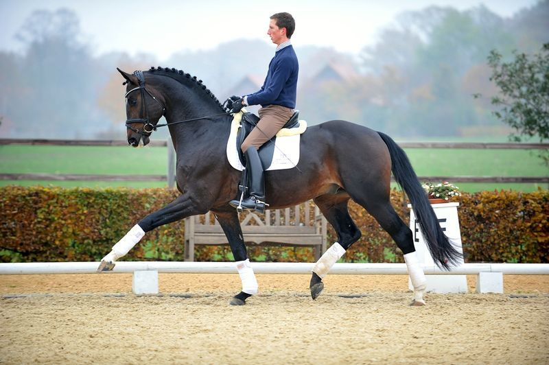 Sean Connery      「Sir Donnerhall I x River Queen O」      Hanoverian Stallion