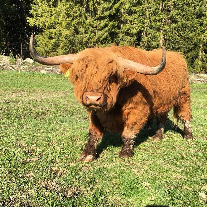 Cute ...... .Highland Cattle Cow