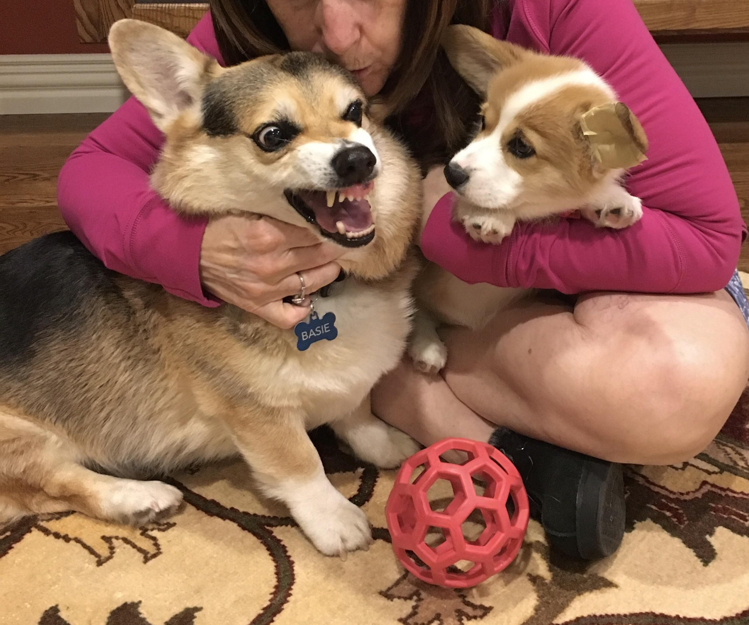 We adopted a new corgi puppy to love and befriend
