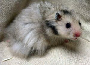 Adopt Pizza On Petfinder Long Haired Hamster Bear Hamster Cute Hamsters