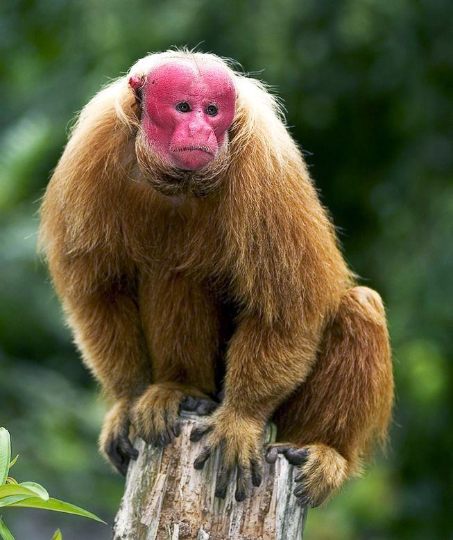 Planet Green On Twitter Uakari Primates Monkey
