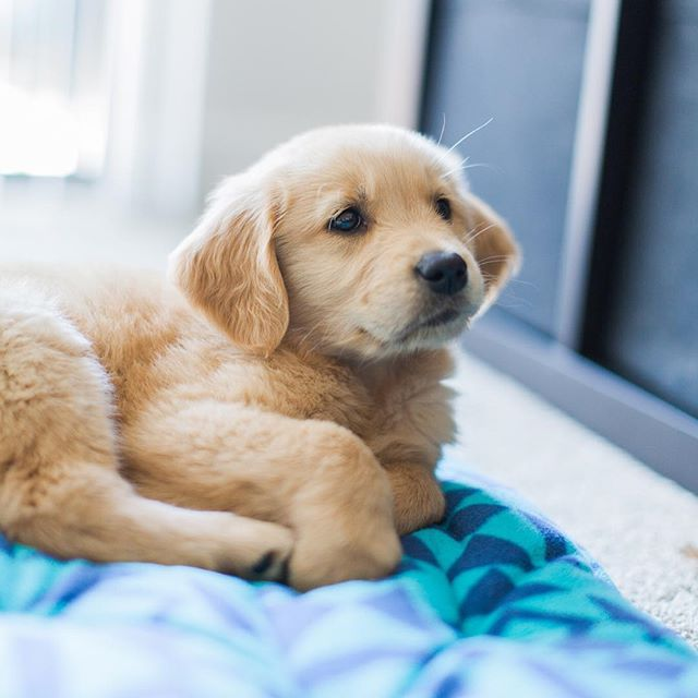 Cutest Little Golden Retriever Puppy Is So Fluffy And Cuddly