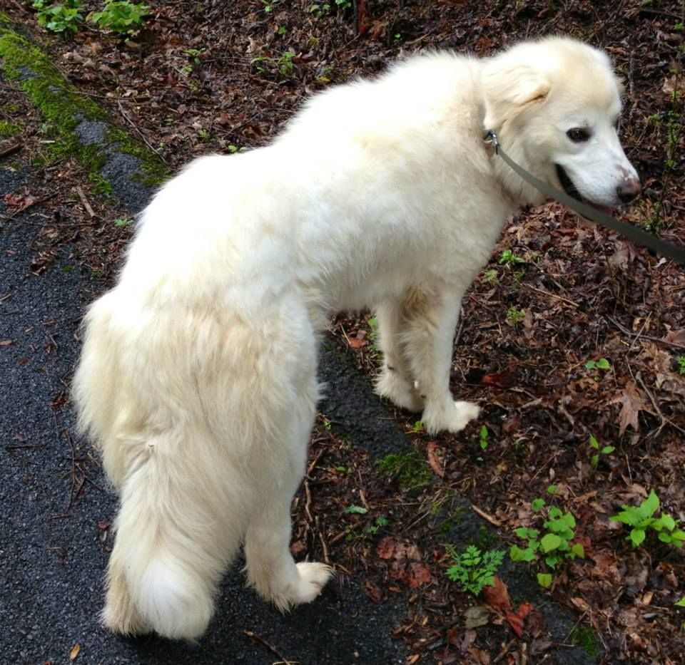 VA to ME...Snowball is an 18 month old Pyr X, 60 lbs. She