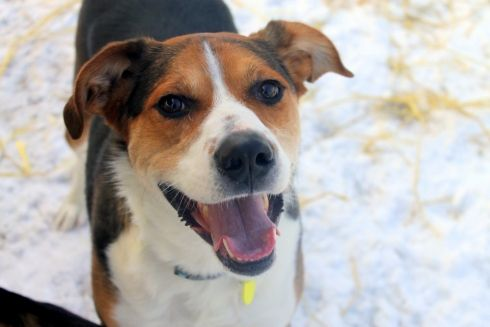 Are you ready to adopt your new best friend? This unique Treeing Walker Coonhound, Husky and English Shepherd mix is ready to start loving YOU! #figlancaster #lancasterpa #lancastertrails #dog #humaneleague #pup