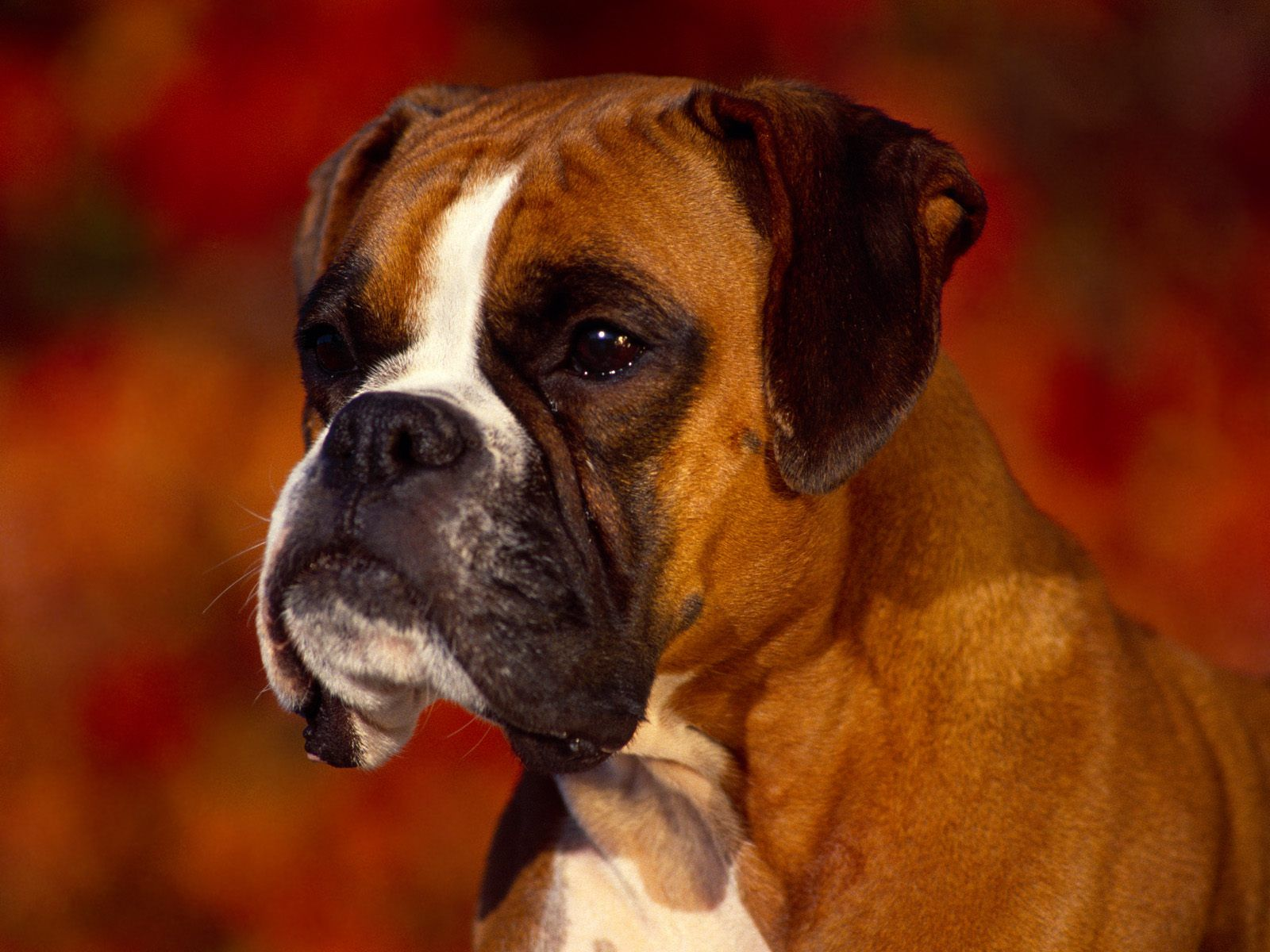 Lindo Boxer Dogs Boxer Dog Pictures Dog Wallpaper