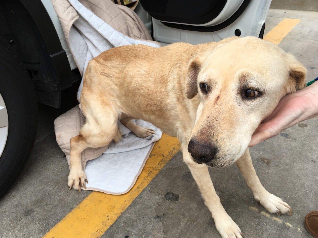 Golden Labrador Dog For Adoption In Fort Worth Tx Adn 785081 On Puppyfinder Com Gender Female Age Adu Labrador Dog Labrador Retriever Puppies Dog Adoption