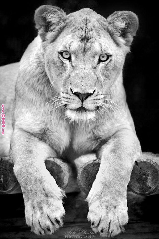 Njaabraidingbar Com With Images Lions Photos Female Lion
