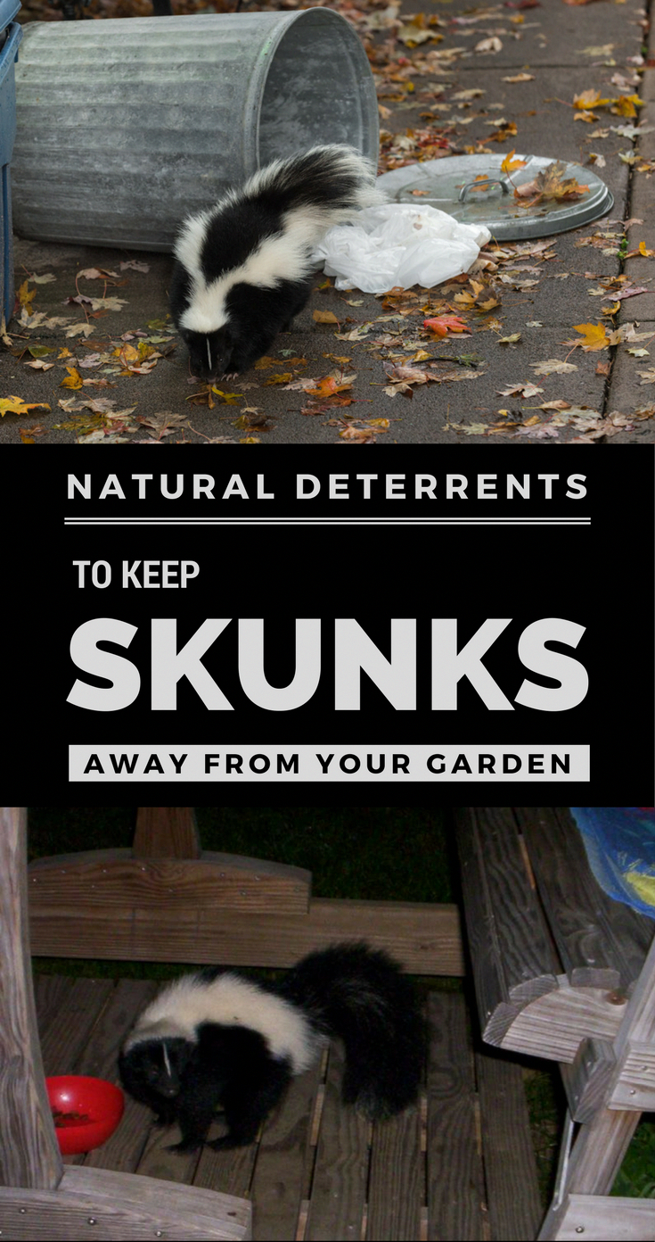 Natural Deterrents That Will Keep Skunks Away From Your